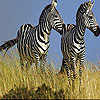 Zebras in the field slide puzzle