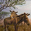 Zebras in the desert slide puzzle
